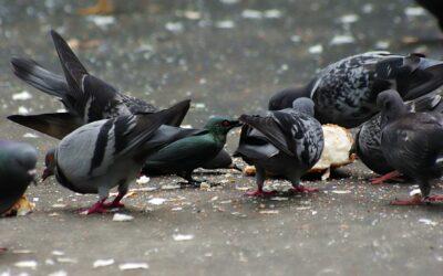 Weet je dat het verboden is om in openbare ruimte voedsel voor zwervende dieren of duiven achter te laten, neer te leggen of te werpen?